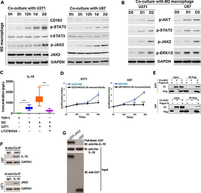 M2 macrophage was found to be able to promote the proliferation of glioma cells through secreting IL-10 dependent on JAK2/STAT3 signaling pathway.