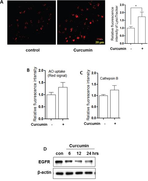 Curcumin activates lysosomal function.