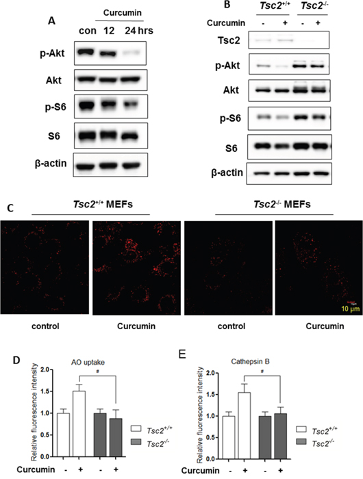 Activation of lysosomal function by Curcumin is mTOR-dependent.