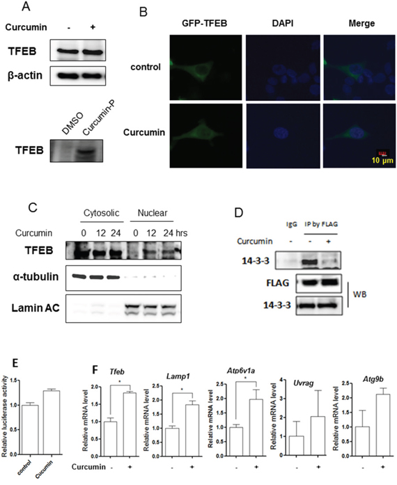Curcumin directly targets TFEB for activation.