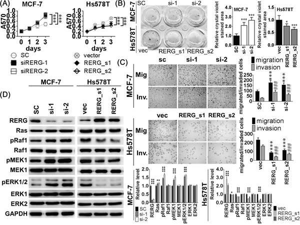 Knockdown of RERG resulted in similar inhibitory effects of miR-382-5p but RERG overexpression reduced the inductive effects of miR-382-5p.