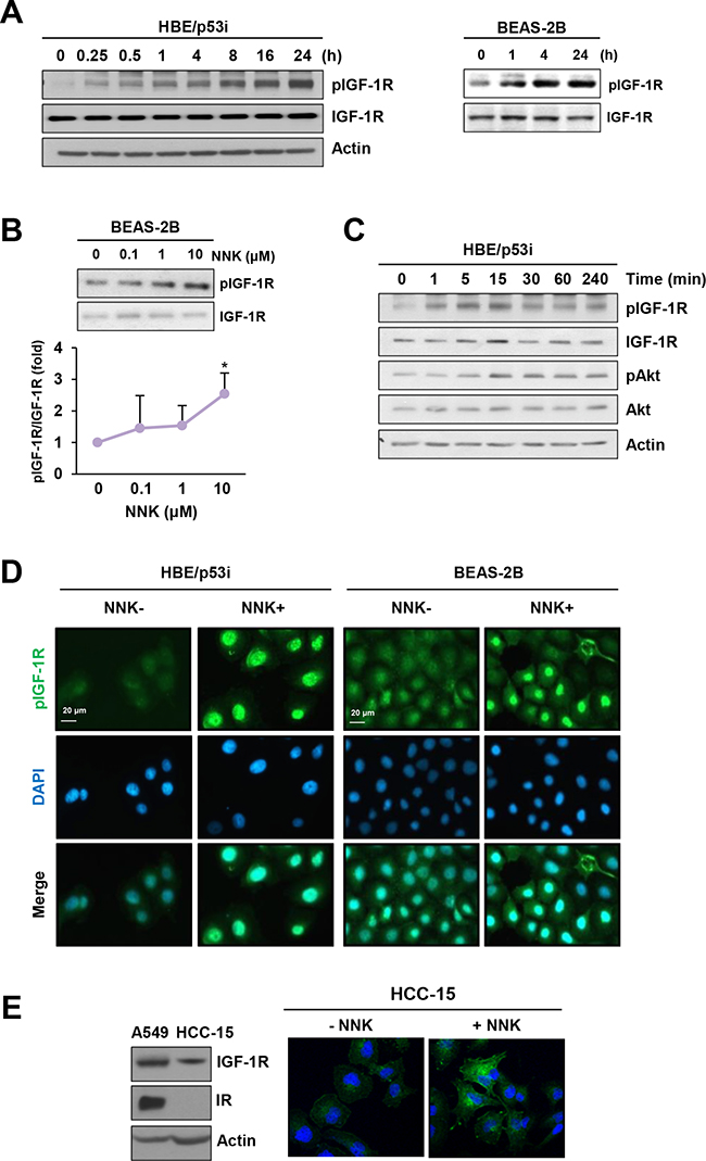NNK induces IGF-1R phosphorylation.