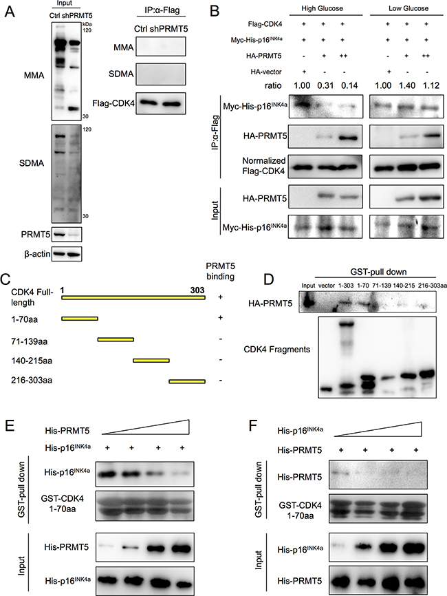 PRMT5 competitive inhibition of interaction between CDK4 and CDKN2A.
