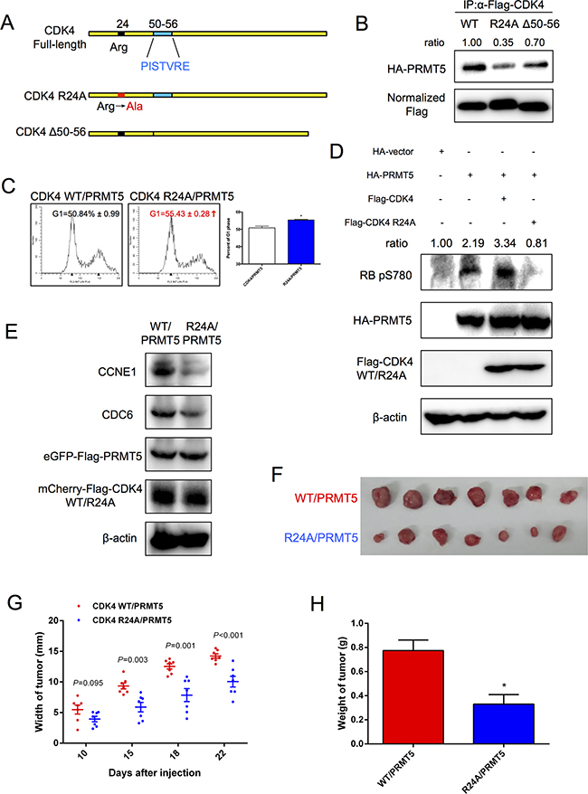 CDK4 mutant R24A inhibition of HCC cell cycle progression.