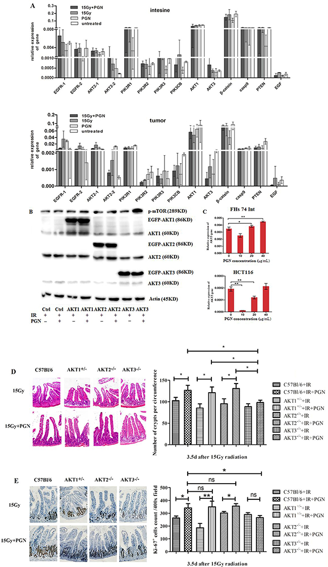 AKT3 was implicated in PGN's distinct effects on intestinal and tumor cell proliferation after IR.