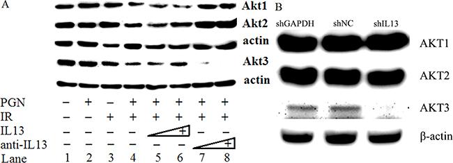 IL13 preferentially stimulated AKT3.