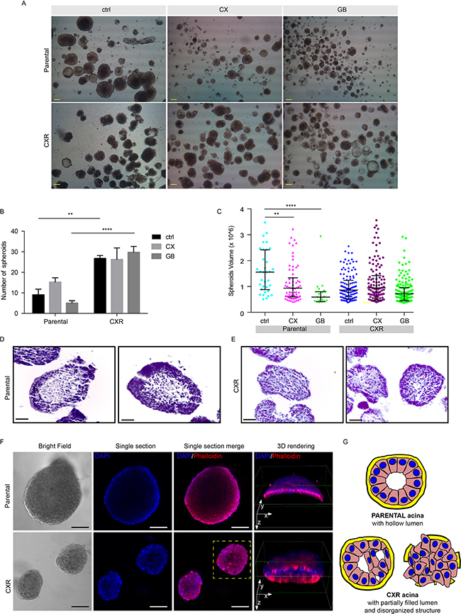 Cetuximab resistant cells displayed increased ability to growth in suspension as colonspheres.