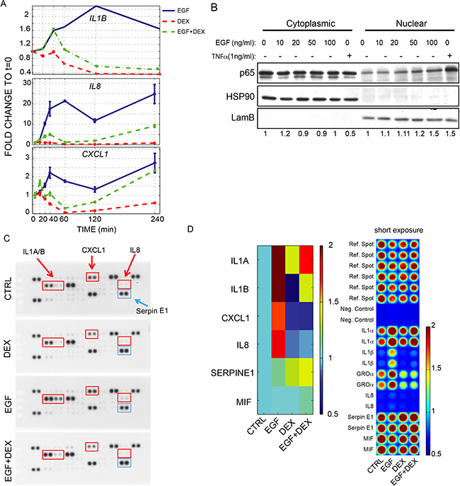 EGFR activation controls the production of a module of inflammatory cytokines in MCF10A.