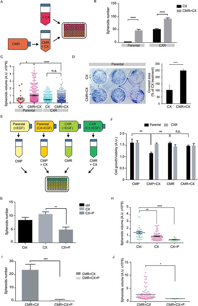 Secreted factors from CX resistant cells reduces cetuximab sensitivity on parental cells.