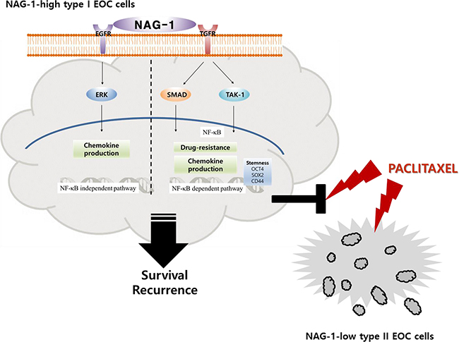 A putative scheme for the mechanism of NAG-1-mediated chemokine production and chemoresistance in type I EOC cells.