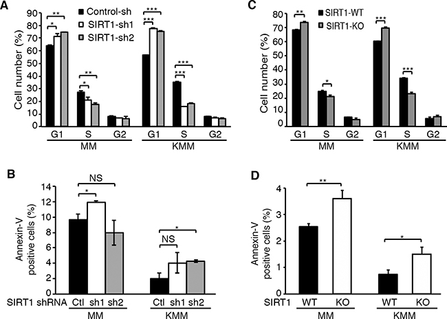 SIRT1 knockdown or knockout induces cell cycle arrest but has minimal effect on apoptosis in KSHV-transformed cells.