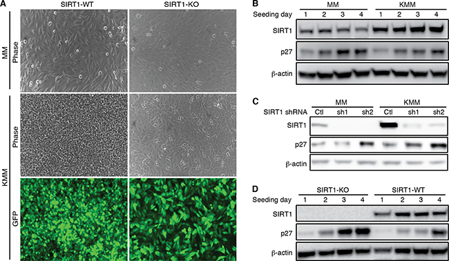 SIRT1 knockout induces contact inhibition and p27 expression.