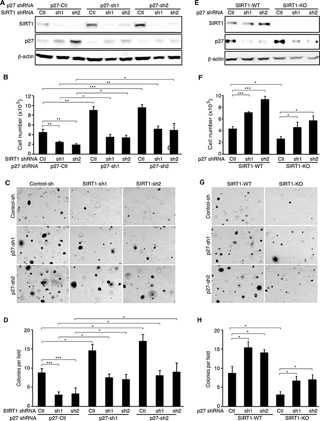 p27 knockdown rescues the inhibitory effects of SIRT1 inhibition on cell proliferation and colony formation of KSHV-transformed cells.