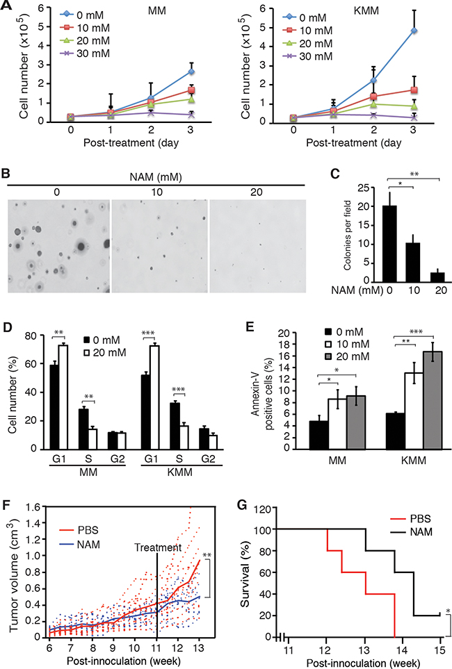 SIRT1 inhibitor NAM suppresses cell proliferation and colony formation in vitro, and extends the survival of mice in vivo.