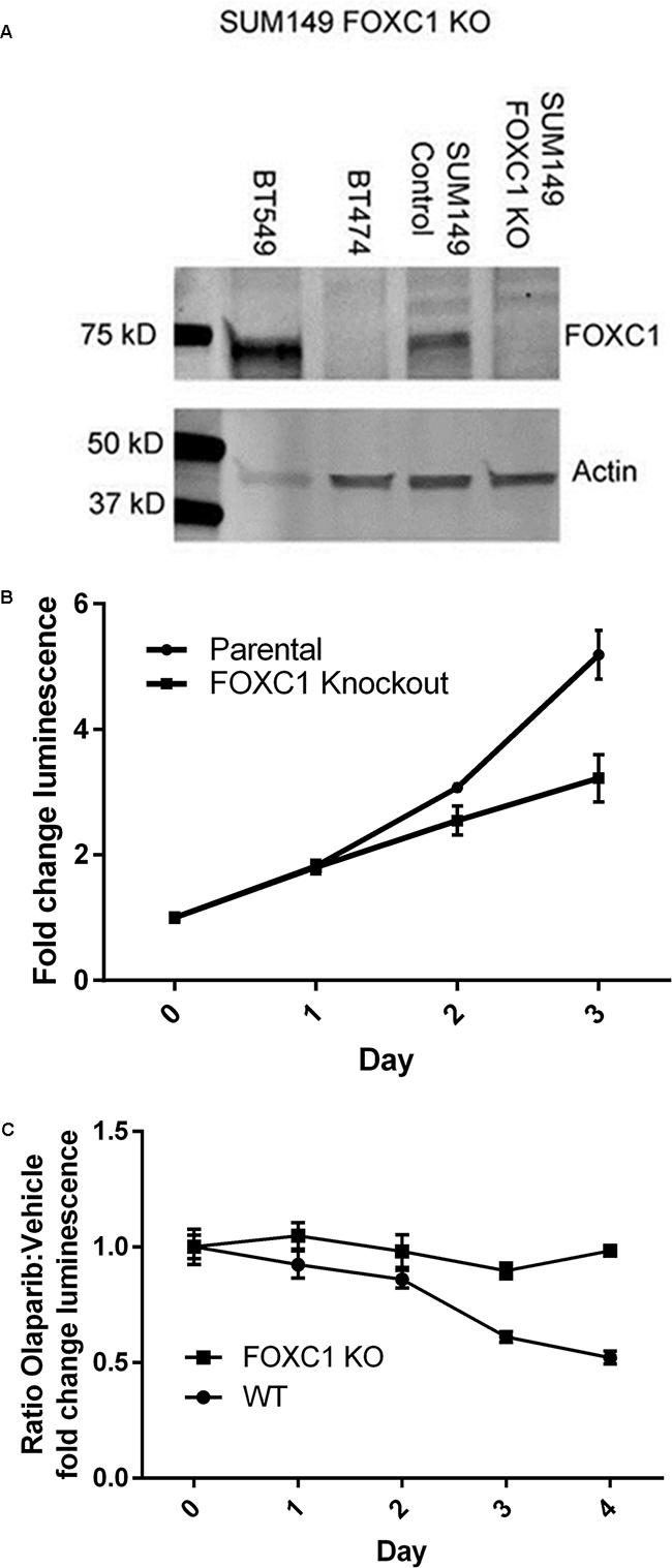 FOXC1 knockdown diminishes proliferation.
