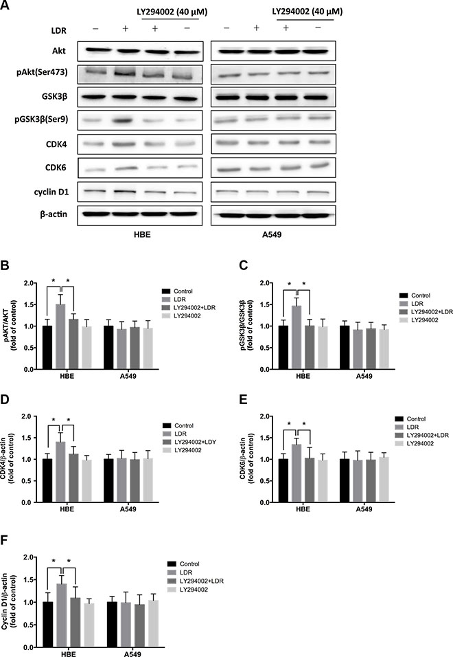 LDR increases GSK-3β phosphorylation and CDK4/CDK6/cyclin D1 expression in HBE cells but not in A549 cells.