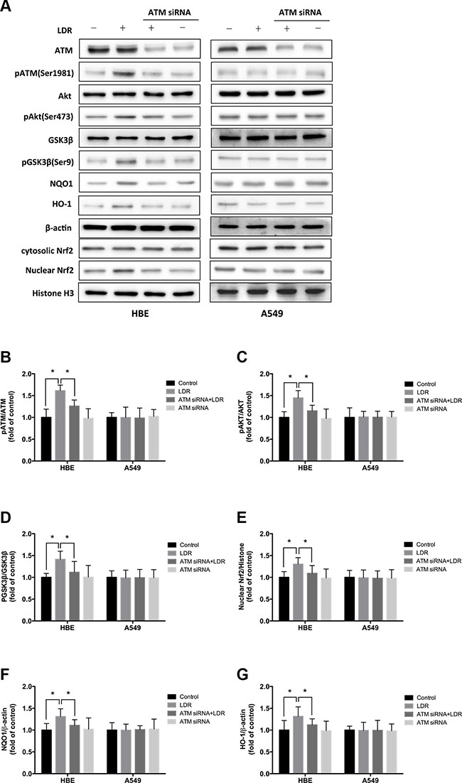 Knockdown of ATM with siRNA blocks LDR-induced phosphorylation of AKT and GSK-3β, nuclear accumulation of Nrf2, and expression of antioxidants in HBE cells but not in A549 cells.