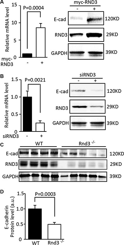 Expression of E-cadherin was closely regulated by RND3.