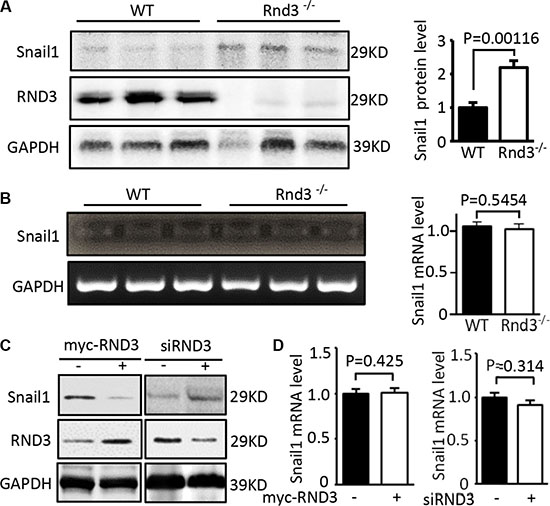 RND3 negatively regulated the expression levels of Snail protein but not the transcript.