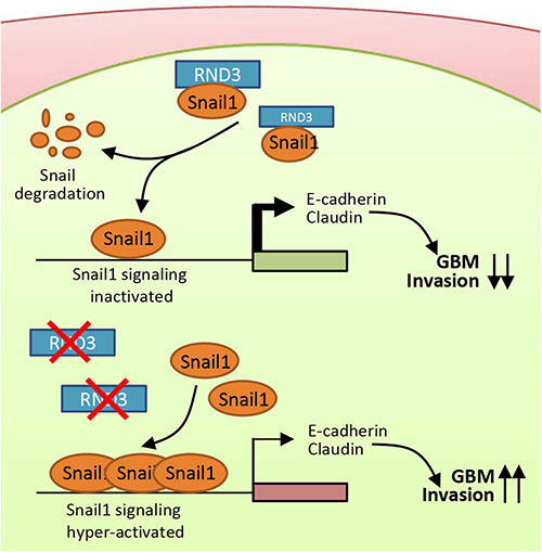 A proposed model outlining the molecular mechanism of the Rnd3 negatively regulating GBM cell migration/invasion through repressing snail signaling.