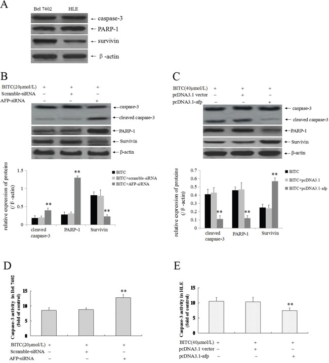 Effects of AFP on BITC regulation of the expression of apoptosis-related proteins and caspase-3 activity in human hepatoma cells.