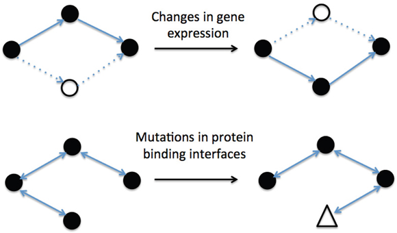 Examples of different biological mechanisms for changing interactions network topology.