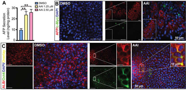 The dedifferentiation of hepatocytes by AAI exposure in mature liver-like tissue at the terminal differentiation stage.
