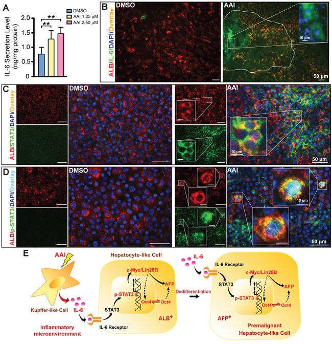 Inflammatory cytokine IL-6 signaling activation in the ES cell-derived liver-like tissue treated with AAI.