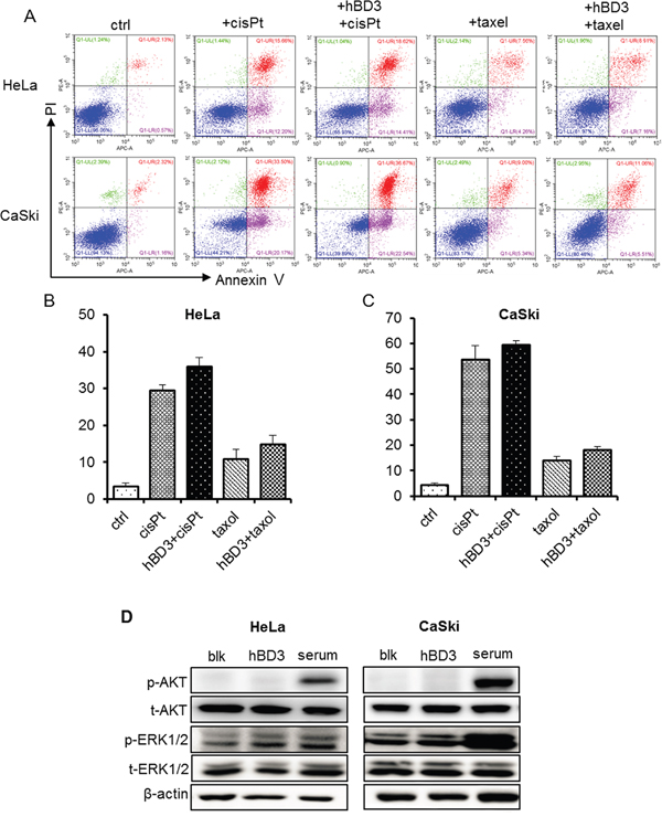 Effects of overexpression of hBD3 on apoptosis of HeLa and CaSki cells.