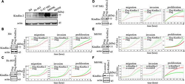 Kindlin-2 promotes glioma cell proliferation, migration, and invasion in vitro.