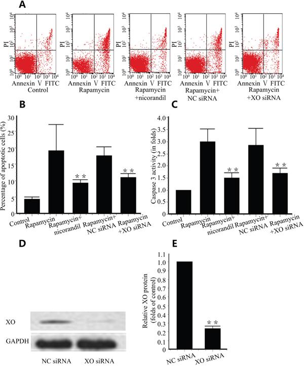 Nicorandil prevents CMECs apoptosis.