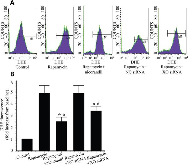 Nicorandil inhibits ROS production in CMECs.