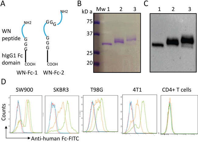 Characterization of the peptide-Fc fusion proteins.