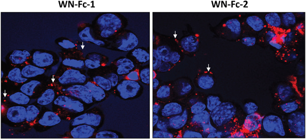 Binding and cellular uptake of WN-Fc fusion proteins.