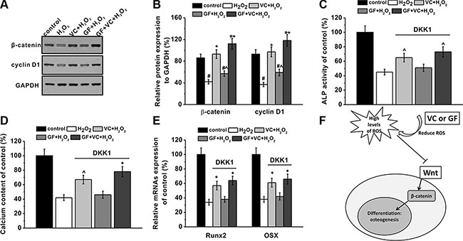 Wnt pathway was involved in the protective effects of GF and VC on the inhibition of osteogenic differentiation induced by 0.2 mM H2O2.