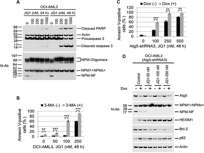 Effects of autophagy inhibition on JQ1-induced apoptosis and protein expression in OCI-AML3 cells.