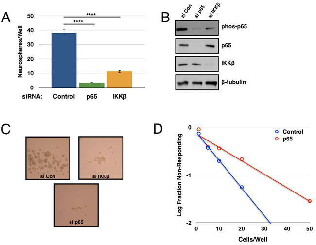 Genetic inhibition of the IKK/NF-κB pathway decreases tumorsphere formation.
