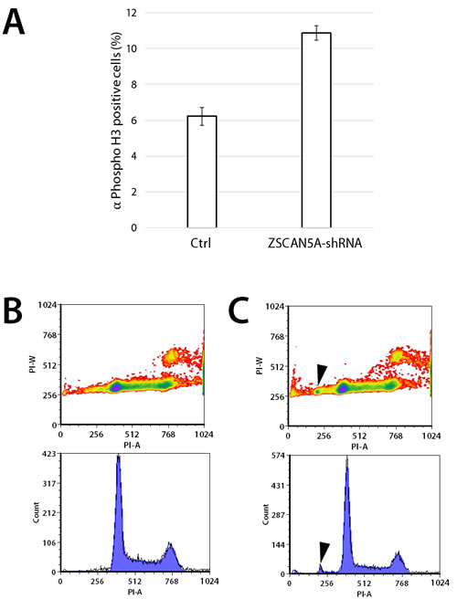 Knockdown of ZSCAN5A increases number of cells entering mitosis and aneuploidy.