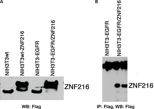 Ectopic expression of ZNF216 protein.