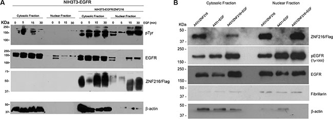 Subcellular localization of activated EGFR in NIH3T3-EGFR and A431 cell lines overexpressing ZNF216 protein after EGF treatment.