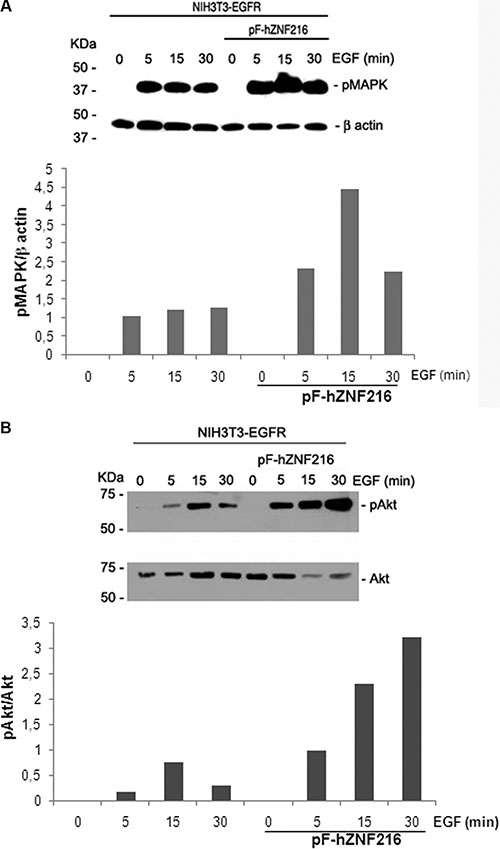 Effect of EGF on MAPK and Akt activation.