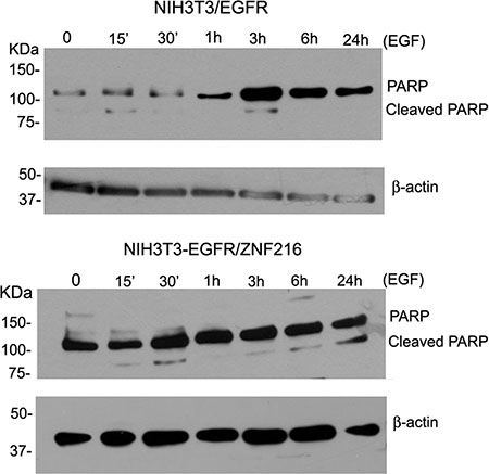 Effect of EGF on cleaved PARP.