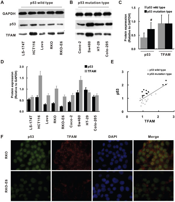 p53 and TFAM expression in different colorectal cancer cell lines.