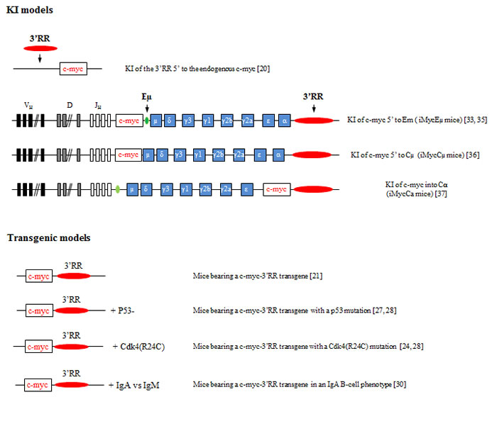 Knock-in and transgenic models of 3'RR induced c-myc lymphomogenesis.