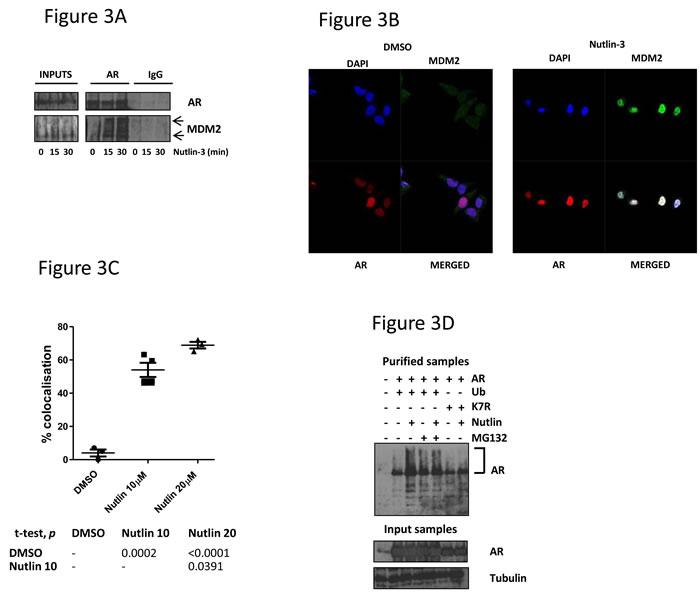 MDM2 interacts with AR in response to Nutlin-3 treatment, resulting in AR ubiquitination.