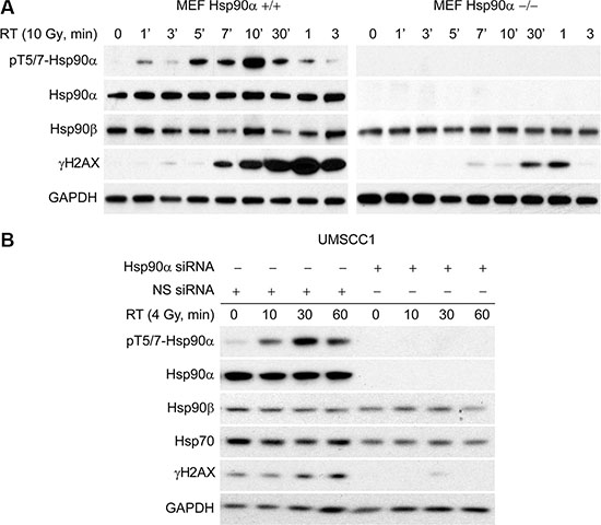 Hsp90α deficient cells have reduced γH2AX.