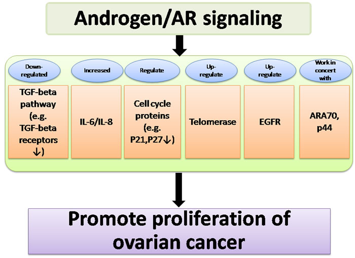Summary of pathways affected by androgen/AR signaling, which acts in concert to promote proliferation of ovarian cancer.