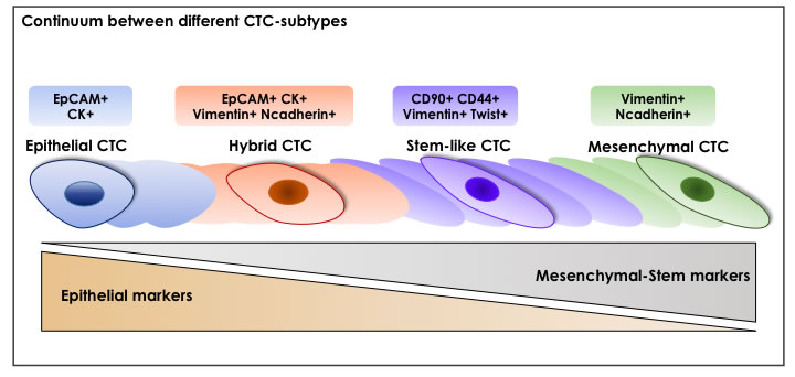 A Continuum Between Different CTC-Subtypes.