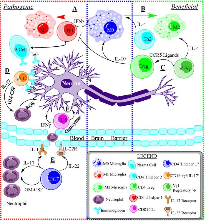 The opposing roles of immune cells in neurodegenerative disease.