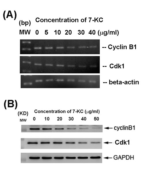 Effect of 24-h exposure to 7-KC on cell cycle-related Cdk1 and cyclin B1 mRNA and protein expression of endothelial cells.